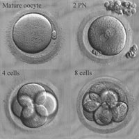 Embryo Cycle