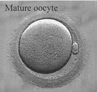Mature Oocyte